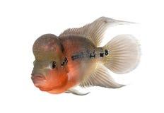 Living Legend, Flowerhorn cichlid Stock Image