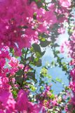 Living life in bloom. Pink flowers and blue sunny sky - floral background, spring holidays and womens day concept. Living life in bloom royalty free stock photography