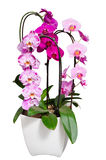 Living lilac orchids flowers in flowerpot isolated on white. Living purple and violet orchids flowers in white flowerpot isolated stock photos