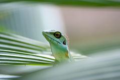 Living Lizard Royalty Free Stock Photography
