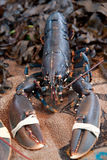 Living lobster Royalty Free Stock Photos