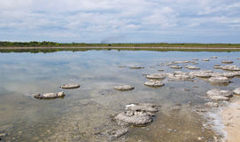Living Marine Fossils. Stromatolites, living marine fossils, in the Lake Thetis landscape with coastal vegetation under a cloudy sky in Western Australia Stock Photography