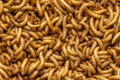 Living Mealworms Royalty Free Stock Photography