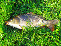 Living mirror carp in the sun. On the green grass Stock Photography