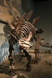 Stegosaurus Stock Images