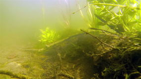 Living plants under the floor bed. Under the lake floor bed you can see plants in a healthy condition living underwater with the ray of the sun reflecting stock footage