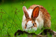 Living rabbit Royalty Free Stock Photography