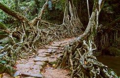 Living root bridge royalty free stock images