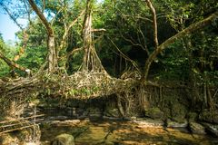 Living roots bridge, Riwai village, Cherrapunjee, Meghalaya, India. - Stock image Stock Image