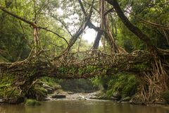 Living roots bridge near Riwai village, Cherrapunjee, Meghalaya, India. This bridge is formed by training tree roots over years to knit together Royalty Free Stock Image