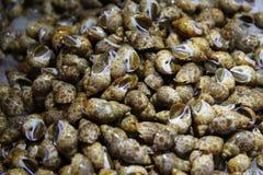 Living sea snail ( Babylonia ). Royalty Free Stock Photos