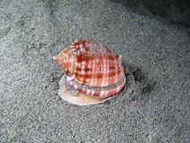 Living Shell underwater Royalty Free Stock Images