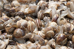 Living snails for sale on a market i Tunisia Royalty Free Stock Image