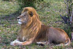 A living sphinx. Beautiful lion. Masai Mara Stock Image