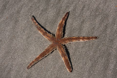 Living Starfish Royalty Free Stock Images