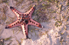 Living starfish on sand. And sea stock photos