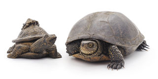 Living and toy turtle. Stock Photo
