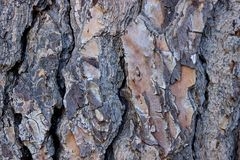 The living trunk of the old pine. The texture of the bark of the Royalty Free Stock Photo