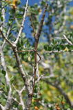 Living Twig, stick insect. Insect disguising as twig on a sunny day stock photo