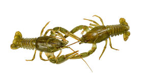 Living  two Crayfish close-up on white background Stock Photography