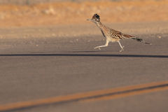 Living up to one's reputation. Greater Roadrunner running on a road Royalty Free Stock Photography