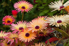 Livingstone Daisies (Mesembryanthemum) Stock Photo
