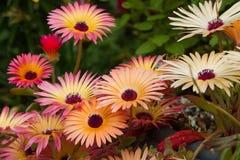 Livingstone Daisies (Mesembryanthemum). Multi coloured flowers close-up Stock Photo