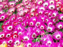 Livingstone Daisies (Mesembryanthemum criniflorum) Stock Images