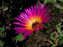 Livingstone Daisy. /Mesembryanthemum Criniflorum Royalty Free Stock Images