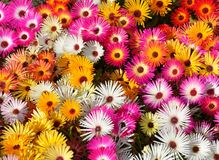 Livingstone daisy Stock Photography