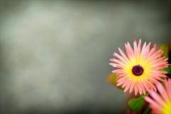 Livingstone daisy on grey background Stock Photo