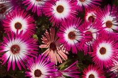 Livingstone daisy show Royalty Free Stock Images