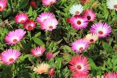 Livingstone-Gänseblümchenblumen Lizenzfreies Stockbild