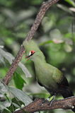 Livingstone's turaco Royalty Free Stock Photos
