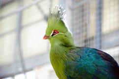 Tropical Green Bird (Livingstones Turaco) Royalty Free Stock Image