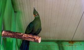 Livingstones turaco sitting a tree branch in the aviary, tropical green bird from Africa, popular pet in aviculture. A livingstones turaco sitting a tree branch royalty free stock image