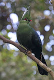 Livingstone's turaco (Tauraco livingstonii) Royalty Free Stock Photo