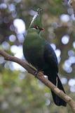Livingstones turaco (den Tauraco livingstoniien) Royaltyfri Foto