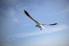 The Livingstons. Seagull flying over the sea Stock Photography