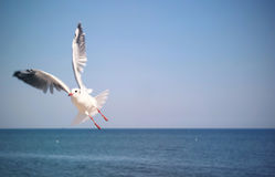 The Livingstons. Seagull flying over the sea Stock Photo