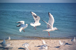The Livingstons. Seagulls playing on the beach Royalty Free Stock Photography