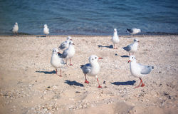 The Livingstons. Seagulls playing on the beach Royalty Free Stock Photos