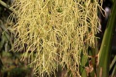 Livistona chinensis, palma de fã chinesa Fotografia de Stock Royalty Free