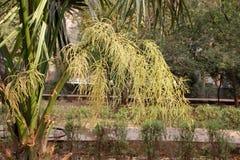 Livistona chinensis, palma de fã chinesa Foto de Stock Royalty Free