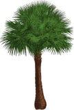 Livistona drzewo. Wektor Zdjęcie Stock