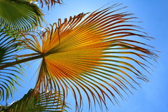 Livistona palm in sunshine. Some nice livistona palm leaves from below with the blue sky in the background stock image
