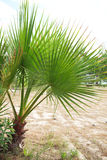 Livistona Rotundifolia palm tree Royalty Free Stock Photos