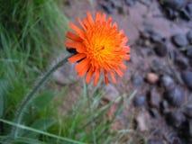 Livlig orange blomma Royaltyfri Fotografi
