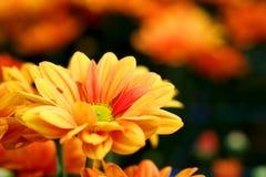 Livlig orange krysantemum i bakgrund för jordbruk för blommaträdgård Royaltyfria Bilder
