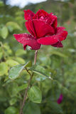 Livlig röd ros med droppar av dagg på kronbladen Arkivbilder